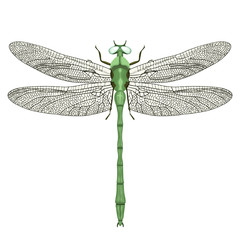 Dragonfly view from above, isolated on white background, vector insect
