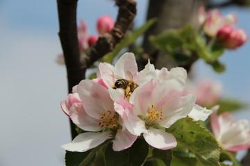 Junger Apfelbaum im Garten mit Blüten, Blumen, Rapsfeld,Bienen, Marienkäfern