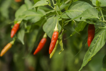 Canvas Prints Hot chili peppers hot chili peppers on the tree in garden.