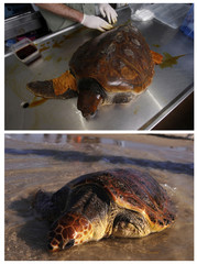 A combination picture shows loggerhead sea turtle Chompy being examined by Yaniv Levy of the Israeli Sea Turtle Rescue Center and Chompy being released back into the Mediterranean Sea at the Beit Yannai beach near Netanya