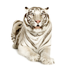 White Tiger isolated in white background