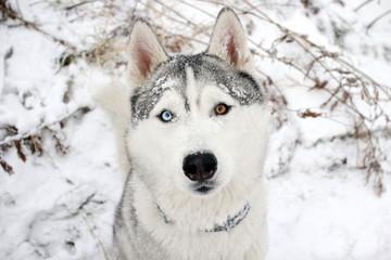 Siberian Husky dog. Beautiful eyes.