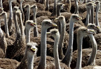 Ostriches wear yellow rings in their noses to prevent them from damaging their skins on a farm in Is..
