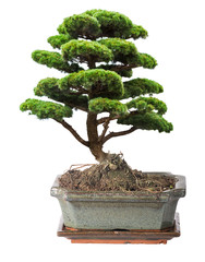 green isolated bonsai pine tree in pot