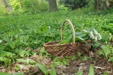 wild garlic / Basket with collected wild garlic in the forest