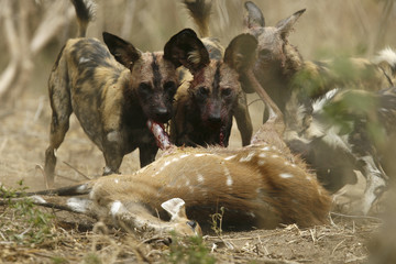 Critically endangered African wild dogs (Lycaon pictus) eat a Bushbuck in the Mana Pools National Park, a World Heritage Site, in northern Zimbabwe