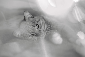 black and white the cat lies on the bed, bokeh