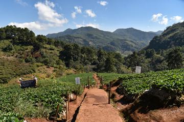 Tea plantations. DOI angkhang, Chiang Mai, Thailand country.