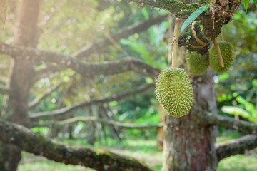 Durian tree, Fresh durian fruit on tree  Durians are the king of fruits