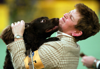 AN AMERICAN WATER SPANIEL PLAYS WITH HIS HANDLER AT THE WESTMINSTER DOG SHOW.