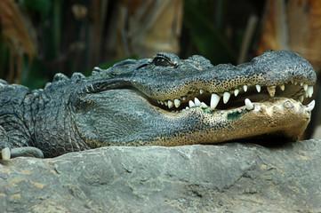 Detail of the head of a Nile crocodile, Crocodylus niloticus