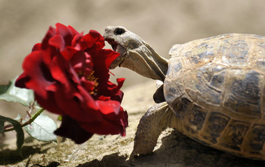 A turtle bites into a rose blossom at the German Provincial Reconstruction Team (PRT) camp of German armed forces Bundeswehr in Kunduz