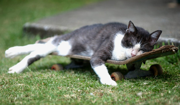 BEST QUALITY AVAILABLE  HAWAIIAN CAT RELAXES ON A SKATEBOARD.