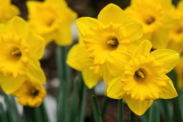 Daffodil flowers in spring garden closeup