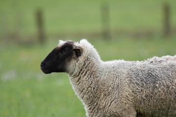 Rhön Schaf