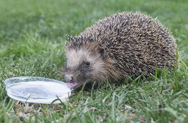 Wild hedgehog to drink milk