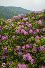 Rhododendron at Carver's Gap