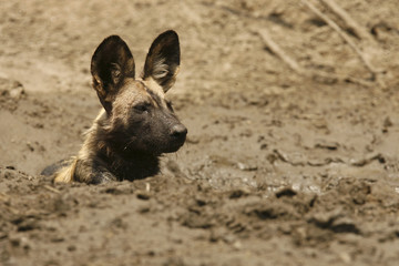 A critically endangered African wild dog (Lycaon pictus) lies in a waterhole after eating a Bushbuck in the Mana Pools National Park, a World Heritage Site, in northern Zimbabwe