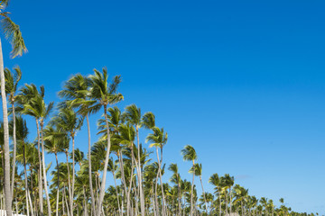 Coco palm tree leaf and crowns on blue sky background