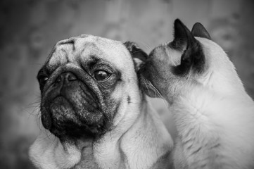Pug and cat. Friendship of cat and dog