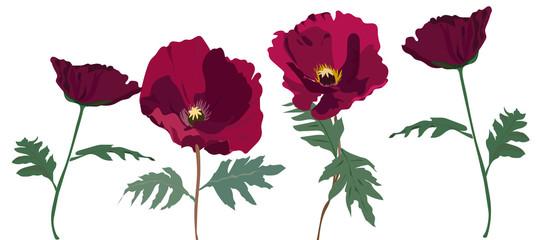 set of hand drawn poppy flower