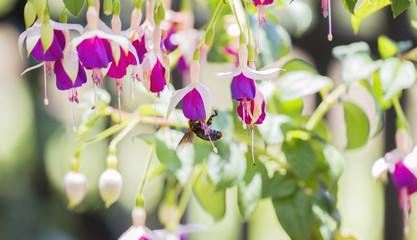 Beautiful Fuschia Flowers in a Garden with a Bee Seeking Nectar