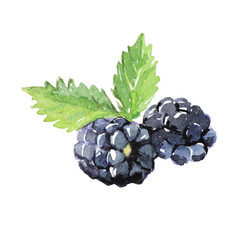 Blackberry with leaves, watercolor illustration