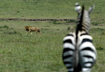 - FILE PHOTO TAKEN MAR04 - A lion is seen passing in front of a zebra in Kenya's national park Masai..