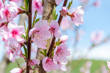 Peach blossom close up in spring in the garden.