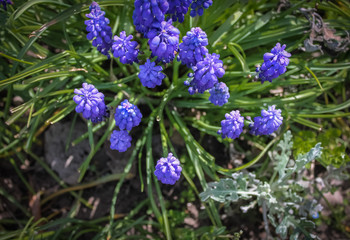 Blue spring flowers muscari or grape hyacinth in natural background, closeup. Center.