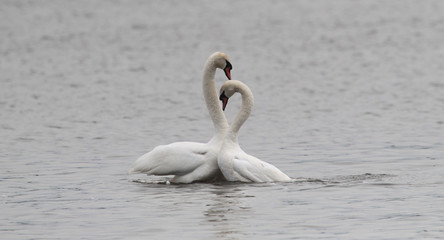 Pair of Mute Swans performing the mating dance on the River Danube at Zemun in the Belgrade, Serbia.