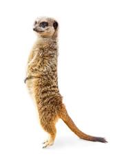 Meerkat Standing Profile Isolated