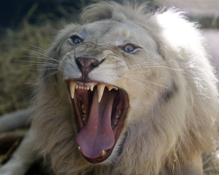A four-year-old male of White Lion roars in its enclosure at the Buenos Aires' Zoo