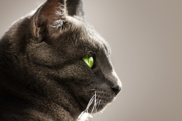 Portrait of a gray cat with green eyes on a gray background