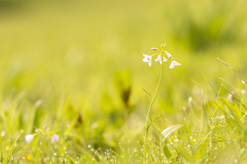Cuckooflower (cardamine pratensis) blooming in a wet and fresh meadow