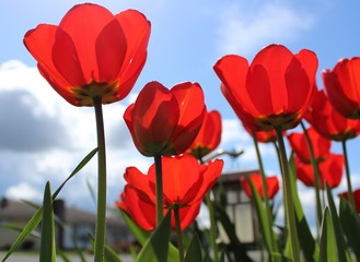 Beautifully blooming red tulips with spring blue sky
