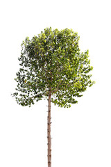 High tree with green leaf isolated