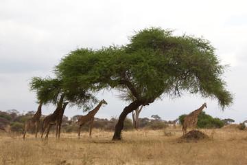 A Herd of Giraffes Dine on Acacia Tree