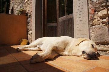 Labrador schläft in der Sonne
