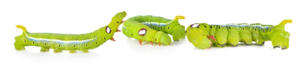 Green caterpillars on white