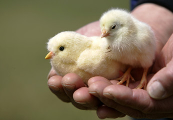 Japanese toy maker Sega Toy's robot chick and baby chick is held at chicken farm in Ome, ouskirts of Tokyo