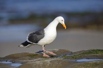 California Gull foraging in a tidal pool