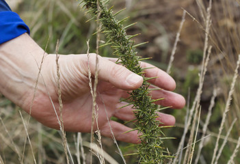 A hand holding long spike invasive plant