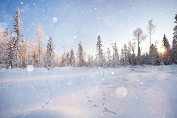 winter landscape, fir forest in frost and traces of animals on the snow