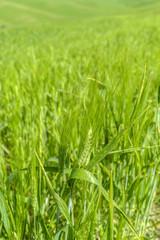 Wheat in a field in the italian countryside
