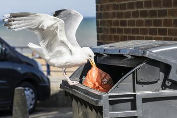 Seagull pulling bag from bin.