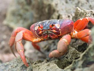 Red crab (Gecarcoidea natalis), Christmas Island, Australia