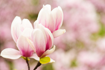 magnolia blossom or pink flower on blurred background, copy space