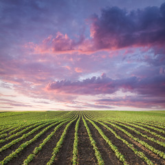 Young soybean crop meadow at idyllic sunset