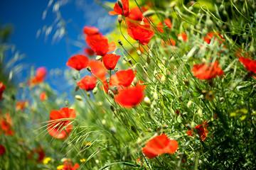 Fotoväggar - Poppy flowers field nature spring background. Blooming poppies over blue sky